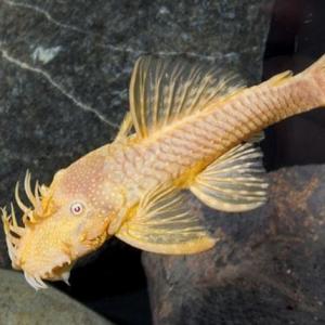 Albino Bristlenose