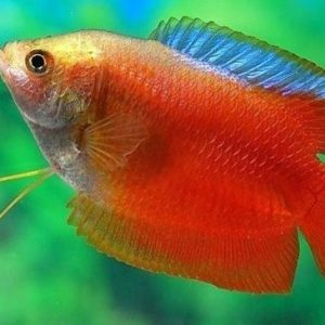Male Dwarf Flame Gourami