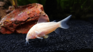 Albino Cory