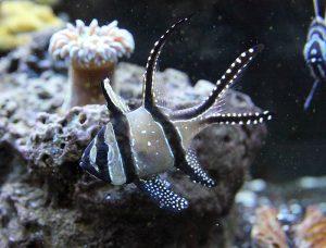 Bangaii Cardinalfish