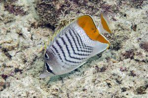 Mertensii Butterflyfish