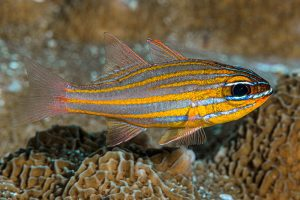Yellowstriped Cardinalfish
