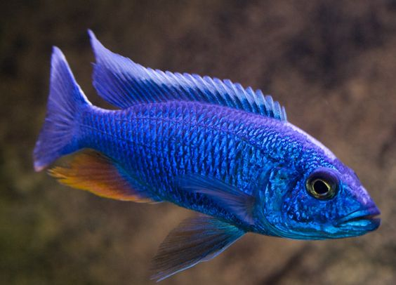 Blue Females
