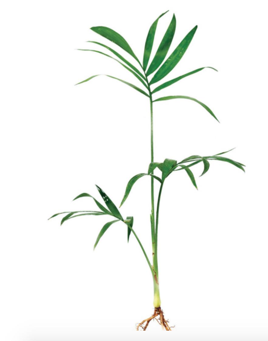 Bella Palm