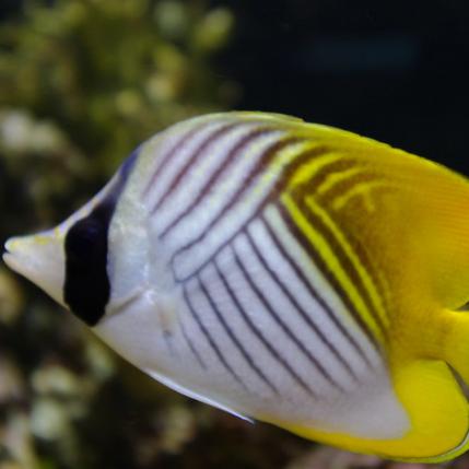 Auriga Butterflyfish