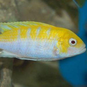 Albino Afra