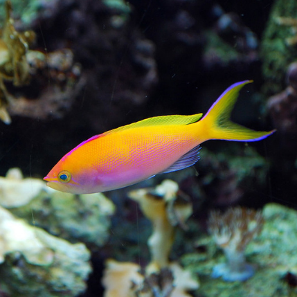 Bartlett's Anthias