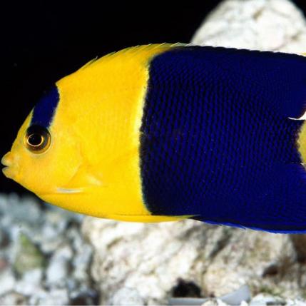 Bicolor Angelfish