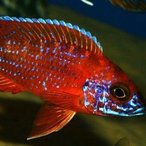 Rubin Red Peacock