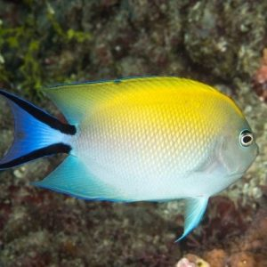 Lyretail Angelfish