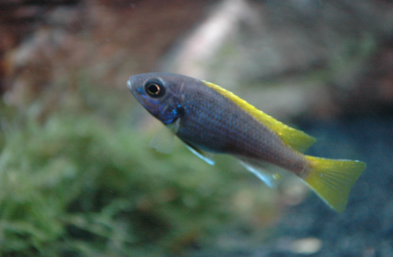 Acei Yellow Tail Cichlid