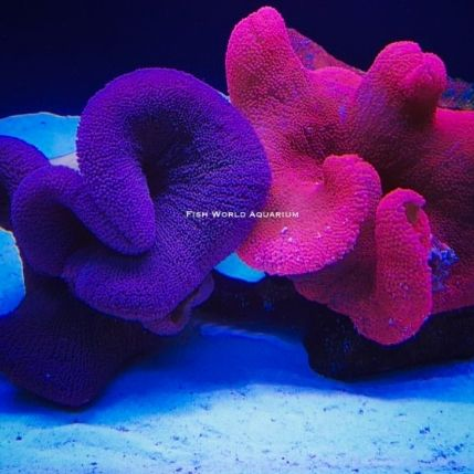 Carpet Anemone