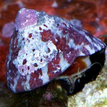 Trochus Snail