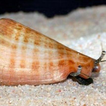 Strombus Snail