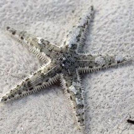 Sand Sifting Sea Star